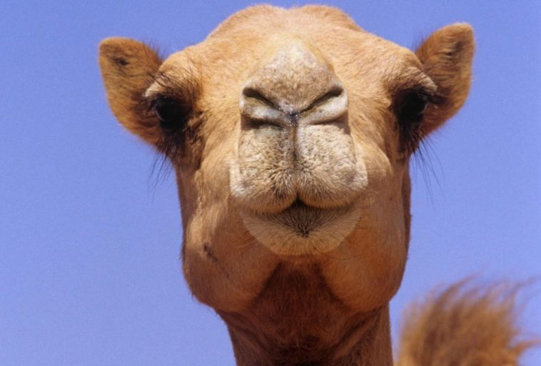 12 camels were disqualified from a beauty contest for taking botox 10