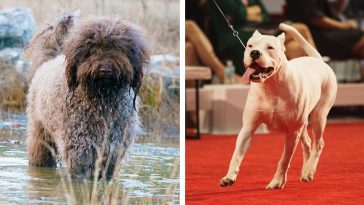 Dog breeds Barbet and Dogo Argentino are now recognized by the American Kennel Club 15
