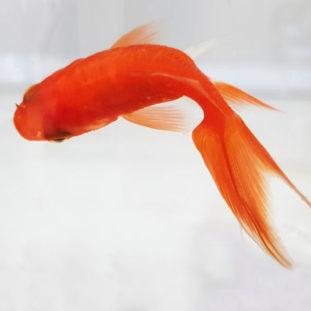 A goldfish 22