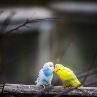 Lovebirds 23
