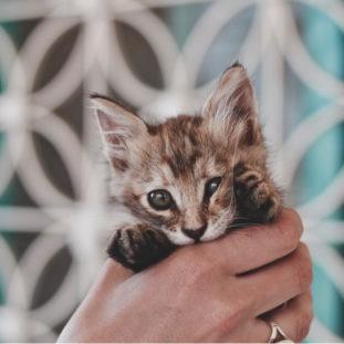 A munchkin cat 25