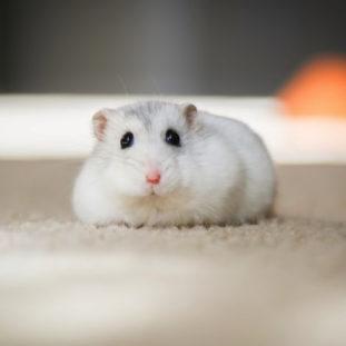 Hamster 41