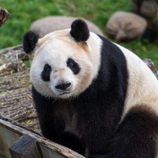 Panda 37