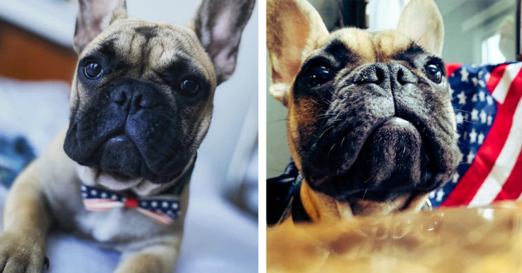 A 6-month-old French bulldog is the new mayor of Rabbit Hash, Kentucky 12
